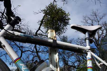 Mistletoe takes up residence in an oak tree on Mt. Hamilton. Unwanted guest or beneficial resident?