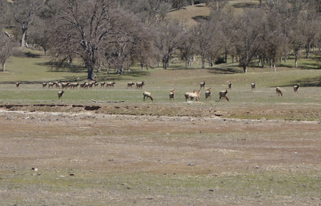Elk graze in San Antonio Valley. Did they miss the wildflowers?