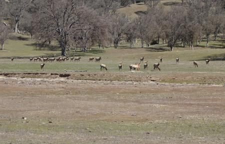 Elk graze in San Antonio Valley. Did they miss the wildflowers?