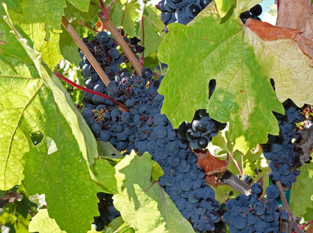 Grapes ready for harvest at Kirgin Cellars near Gilroy.