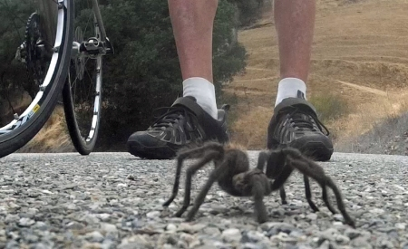 While tarantulas look frightening, by all accounts they're quite docile.