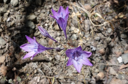 Still a few wildflowers on Mt. Hamilton - Elegant brodiaea