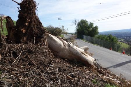 Eucalyptus down on Mt. Hamilton Road, first mile of climb.